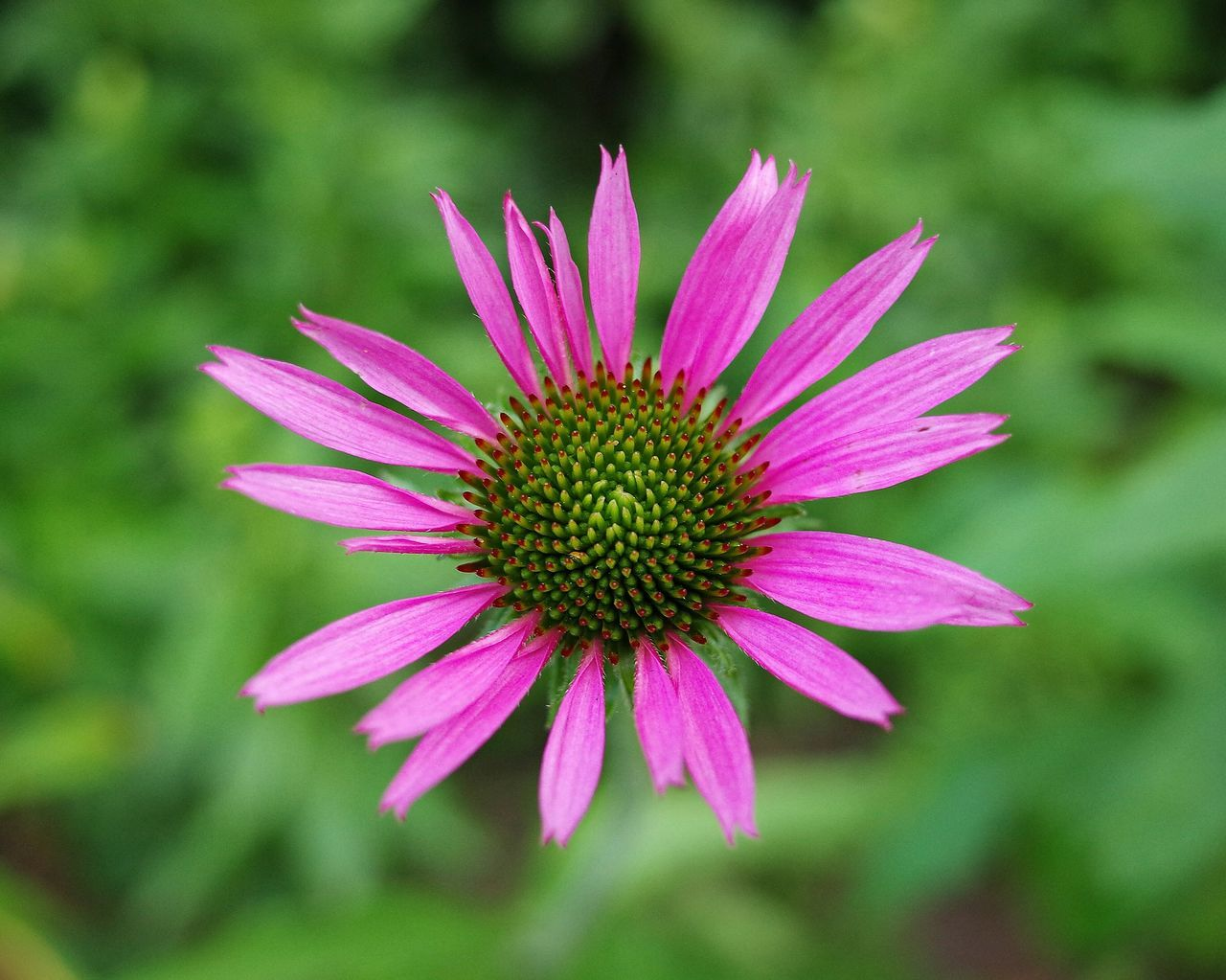 Prospect Park Brooklyn NY Summer 2016 Macro_collection Macro Photography Macro_flower Cone Flower Echinacea Purpurea Flowers Flower Collection Close Up Photography Ricoh Gr Brooklyn New York City