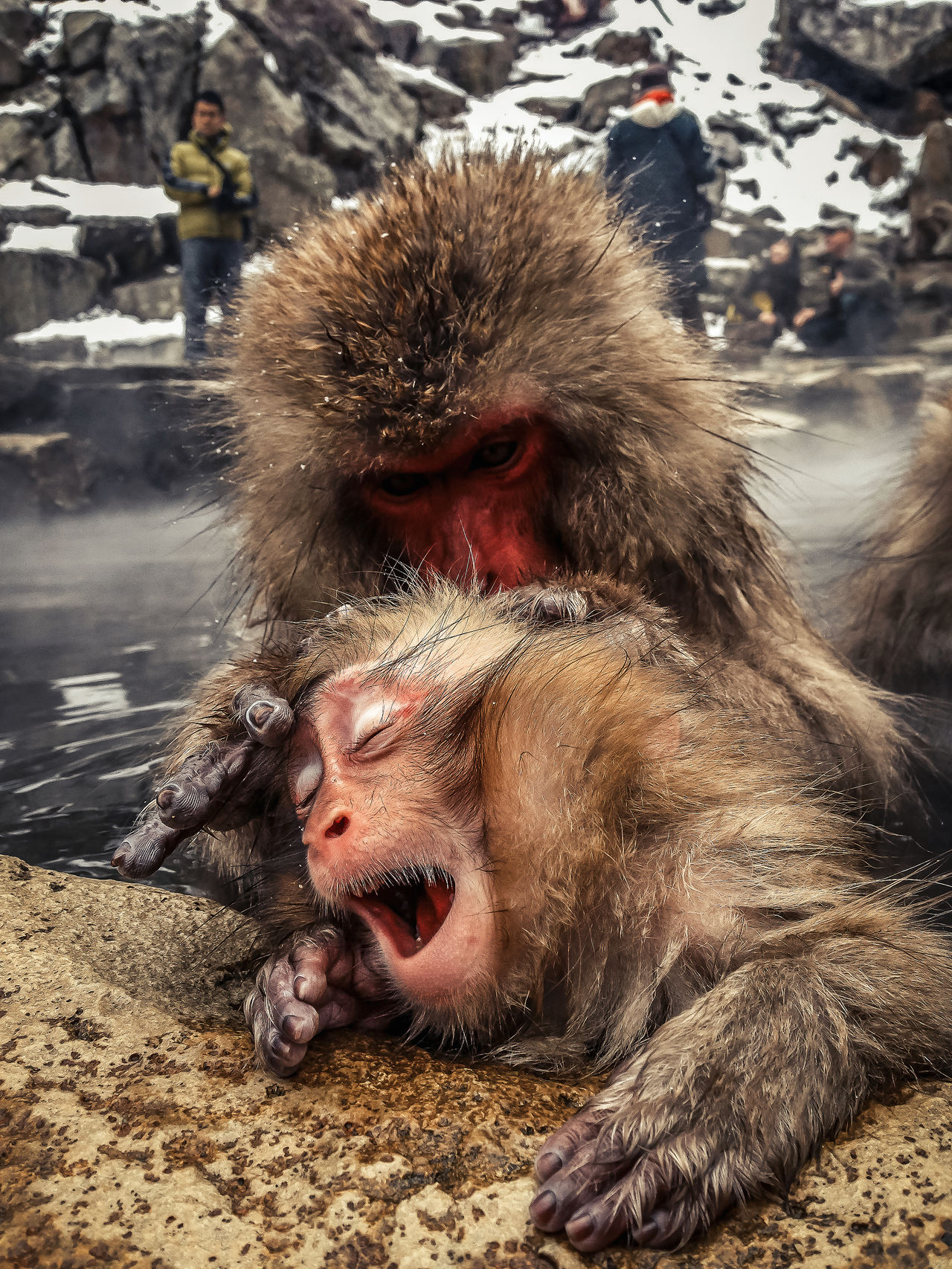 Monkey Snow Monkey Japanese Macaque Onsen Hot Springs Jigokudani Spa Nagano Japan Yawn Iphone 5