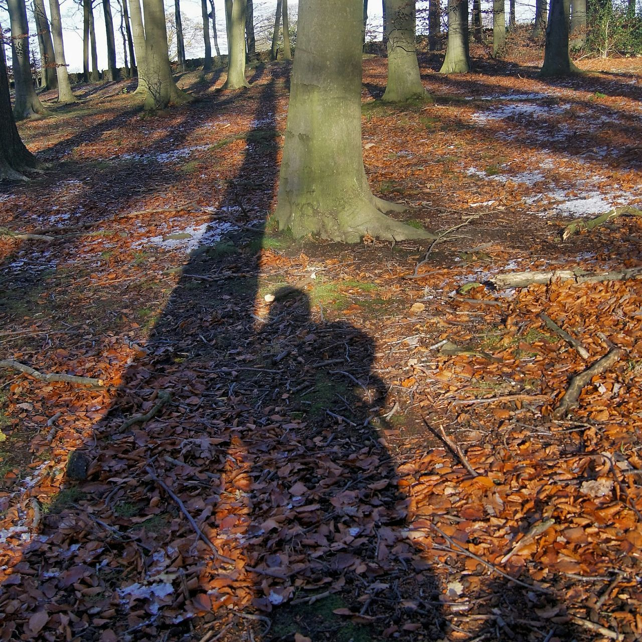 Linacre Woods. Shadows Shadow Shadows & Lights Trees Live For The Story
