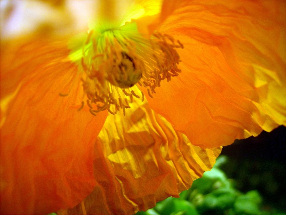 Beauty In Nature Blooming Blossom Botany Close-up Flower Flower Head Fragility Growth Macro Beauty Single Flower Yellow Flower Yellow Poppy