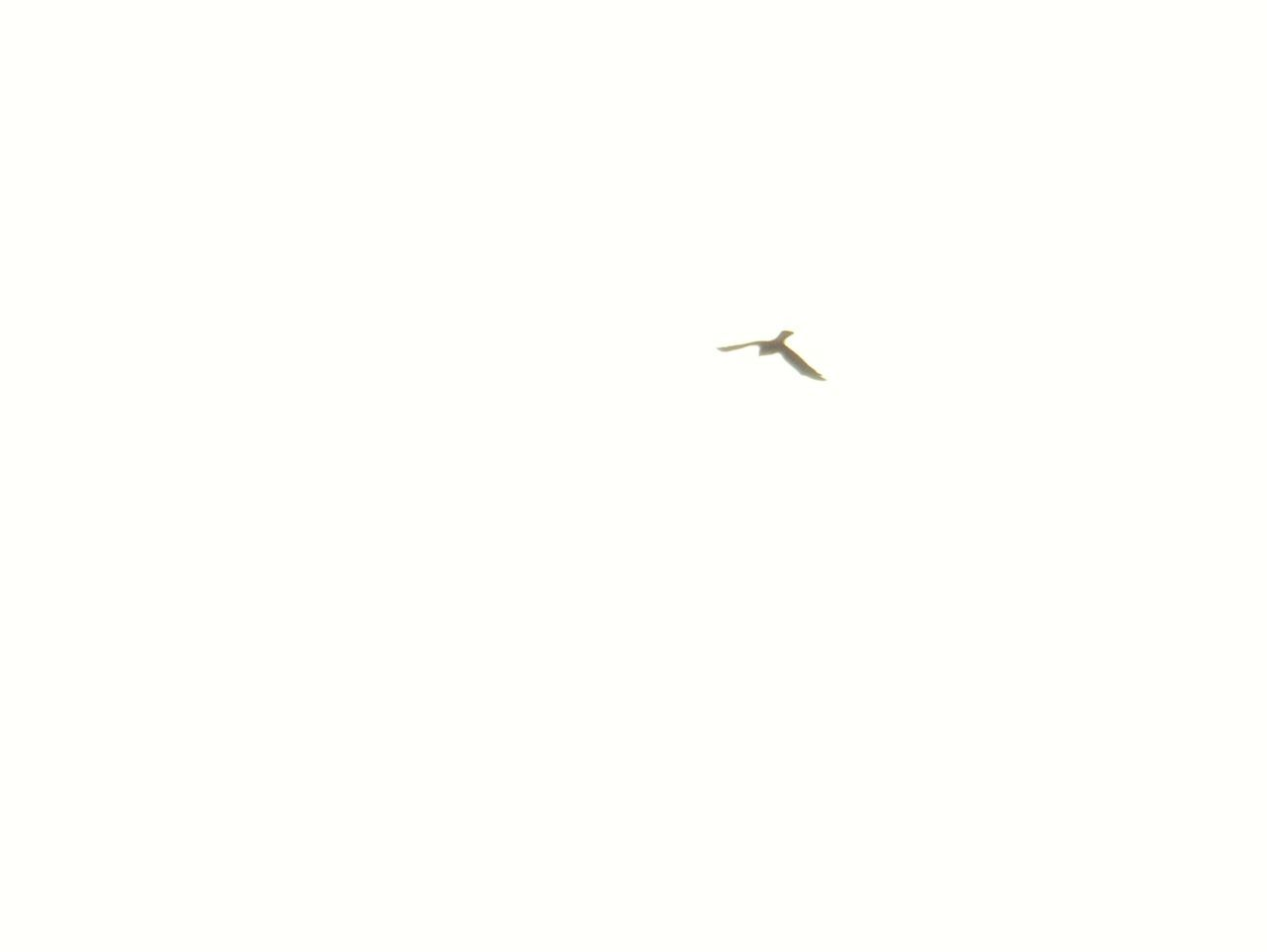 flying, low angle view, no people, airplane, clear sky, animals in the wild, animal themes, day, outdoors, nature, bird