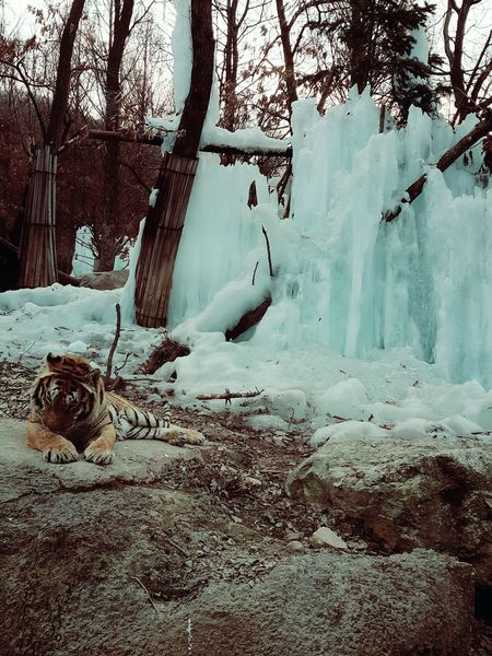 160225 Tiger Amazing Great Photo :)