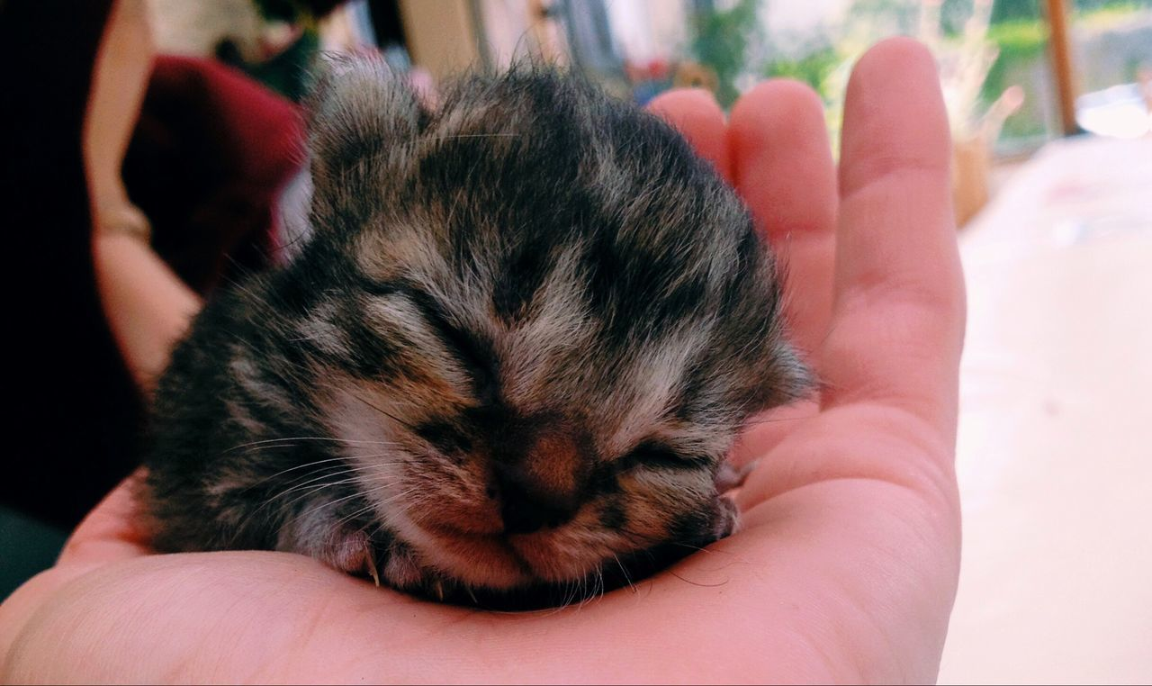Human Hand Real People Human Body Part One Person Pets Domestic Animals One Animal Holding Unrecognizable Person Lifestyles Indoors  Close-up Mammal Focus On Foreground Leisure Activity Men Day People Cat Chaton Baby Babycat