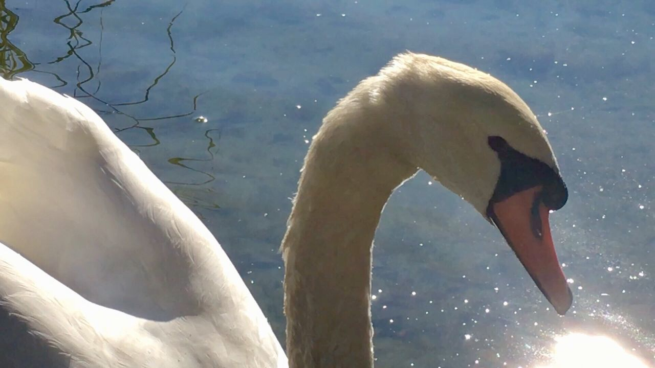 swan, animal themes, lake, animals in the wild, water, bird, sunlight, nature, day, no people, swimming, beak, animal wildlife, togetherness, outdoors, close-up
