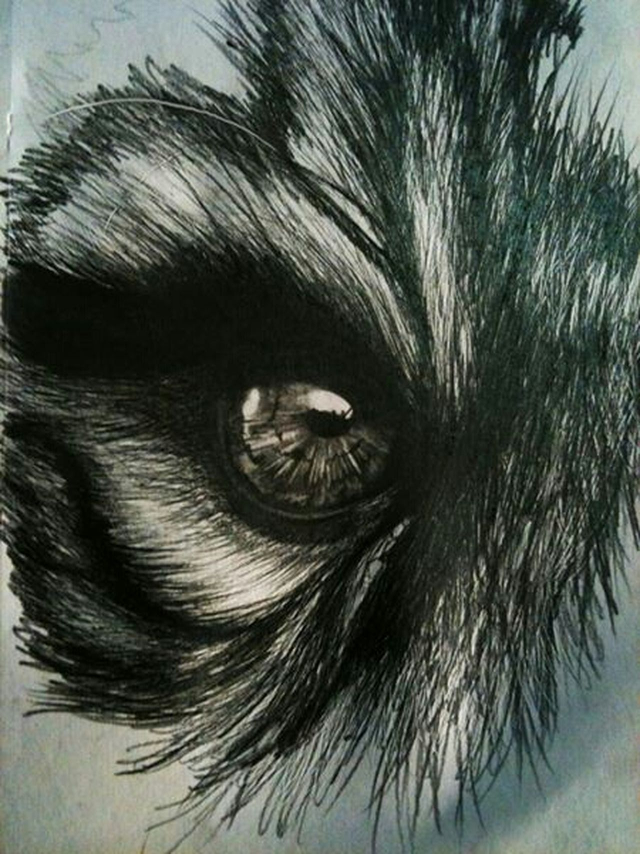 Pencil Drawing Eye Wolf Unfinished Drawing