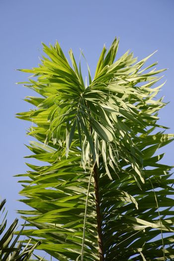 Agriculture Beauty In Nature Blue Clear Sky Close-up Day Foliage Freshness Green Color Growth Herbal Medicine Leaf Leaves Low Angle View Nature No People Outdoors Plam Plant Sky Tree