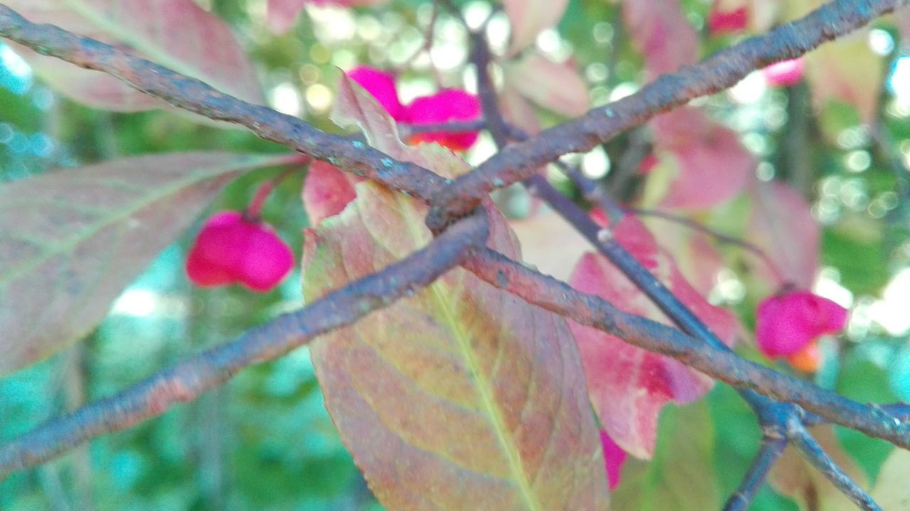 leaf, day, nature, autumn, outdoors, growth, no people, tree, close-up, beauty in nature, low angle view, branch, pink color, maple