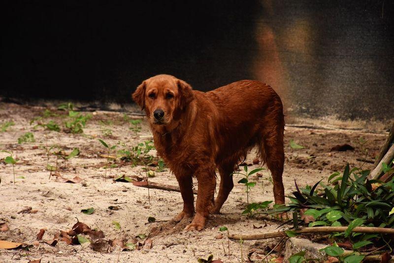 Dog Dogslife Doglovers Animal Themes Goldenretriever