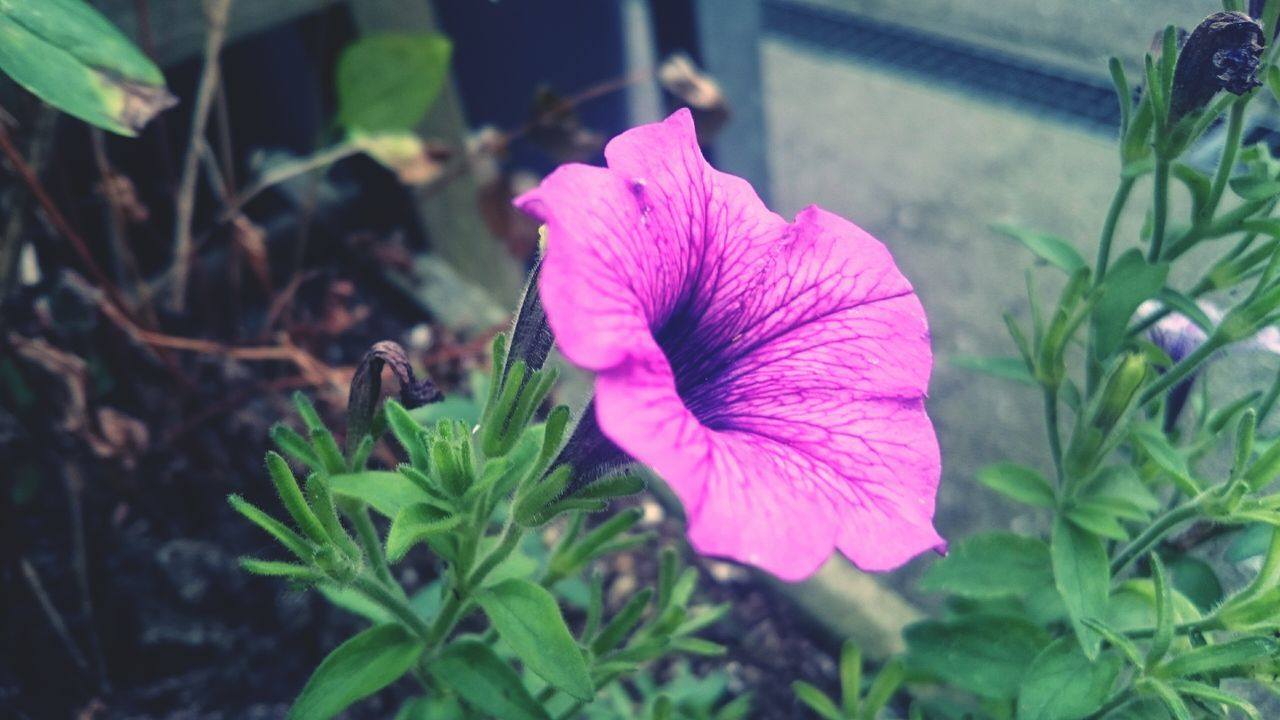 flower, petal, fragility, growth, plant, nature, beauty in nature, flower head, freshness, leaf, petunia, day, outdoors, high angle view, pink color, no people, close-up, blooming, periwinkle
