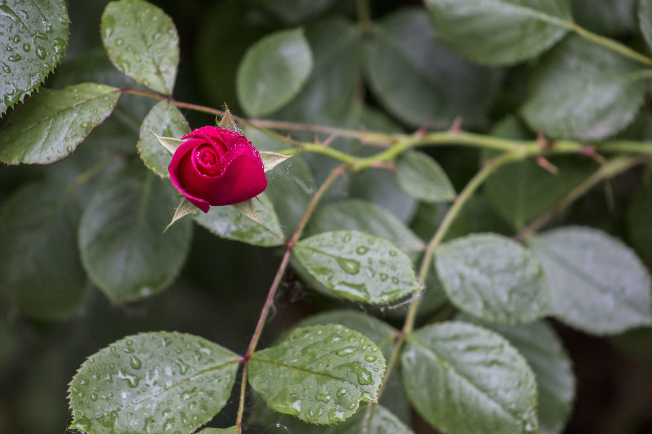 Beauty In Nature Close-up Day Drop Flower Flower Head Fragility Freshness Green Color Growth Leaf Nature No People Outdoors Periwinkle Petal Plant Red Rose - Flower Water After Rain Red Rose Wet Springtime Blooming