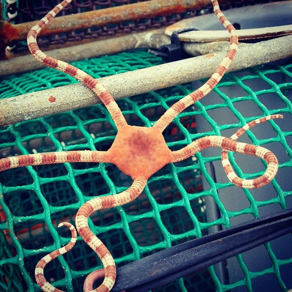 Estrella de Mar Pueblin Puerto Tapia Tapiadecasariego NASA Nasas Pulpo  Harbour Asturias Asturiano