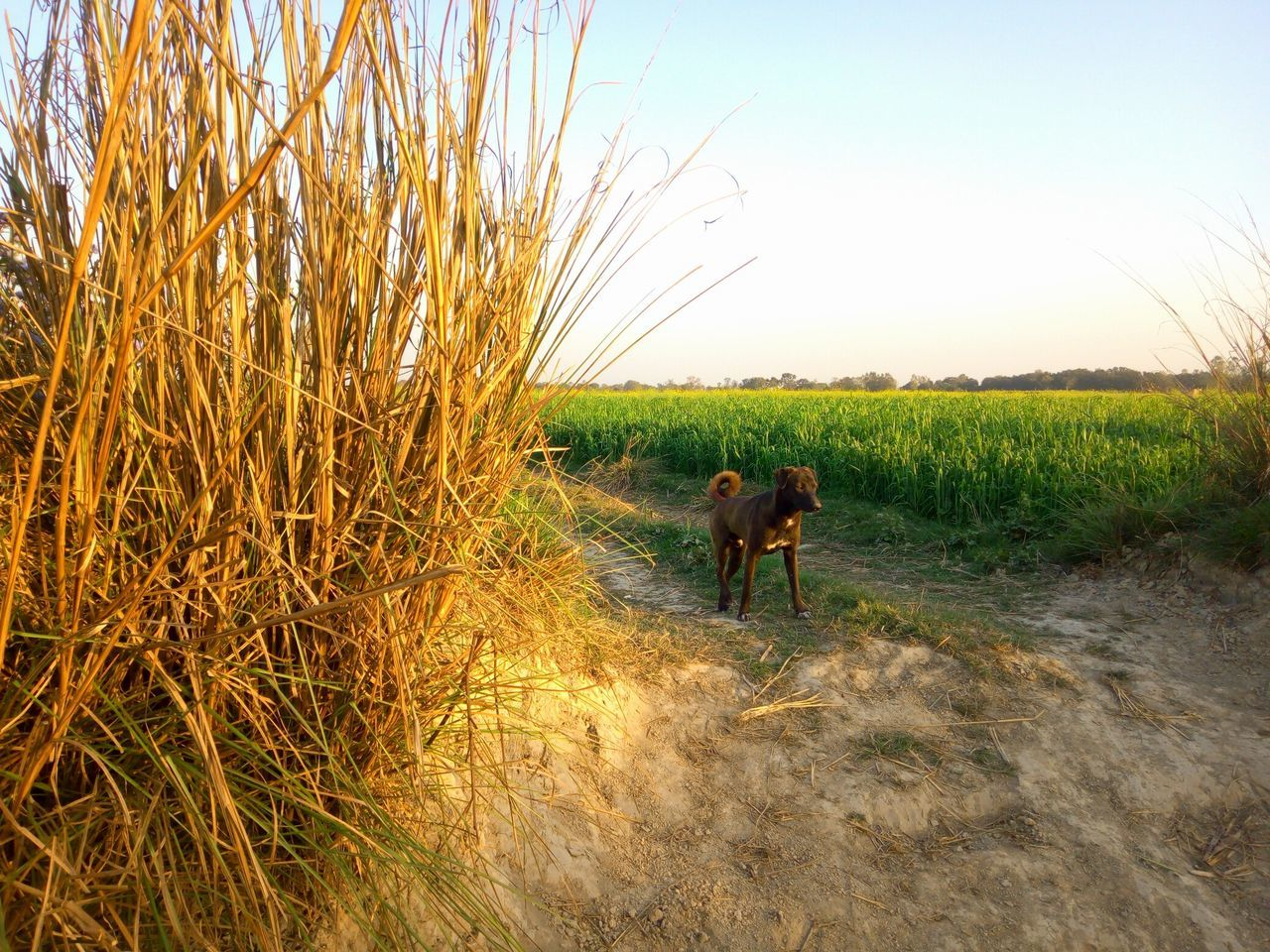 Domestic Animals Mammal Animal Themes Nature One Animal Pets Tree Livestock Growth No People Beauty In Nature Agriculture Outdoors Sky Dog Day Grass Wheat Field Full Frame EyeEm Best Shots - No Edit Landscape Beauty In Nature Dogs Of EyeEm Dog Photography Dog Walking
