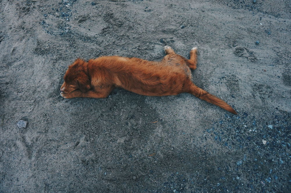dog digging and laying in the sand Sand Dog Dogs Pet Pets Play Playing Nova Scotia Duck Tolling Retriever Fur Furry Cute Pets Cute Dog  Cute