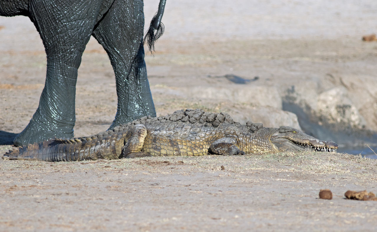 Beautiful stock photos of crocodile,  Animal Wildlife,  Animals In The Wild,  Carnivora,  Crocodile
