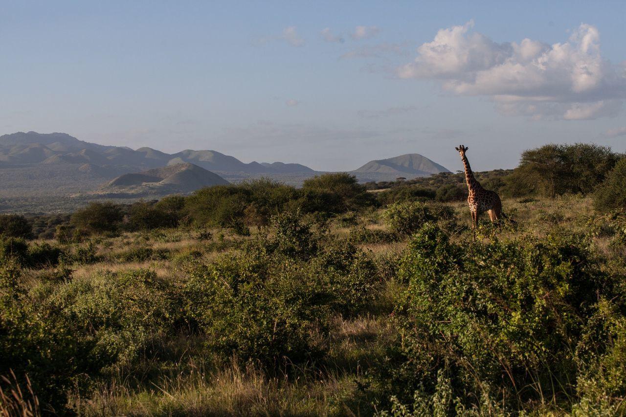 Beautiful stock photos of giraffe, , Horizontal Image, arid climate, beauty in nature