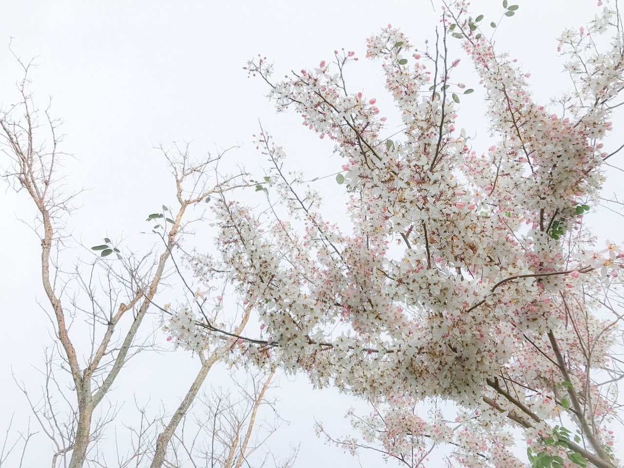 tree, nature, branch, beauty in nature, growth, low angle view, flower, no people, clear sky, outdoors, day, freshness, sky