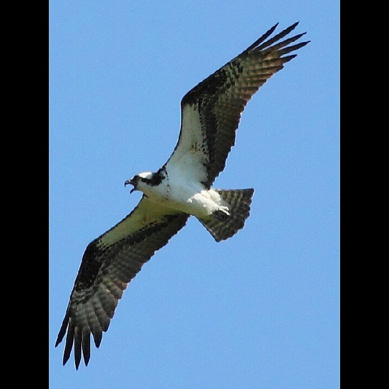 You can hear the osprey for miles Amazing_birds Birds_n_branches Birdfreaks Fabfaunas feather_perfection feather_features nature_perfection nuts_about_birds underdogs_feathers whatschirping wildlife_perfection