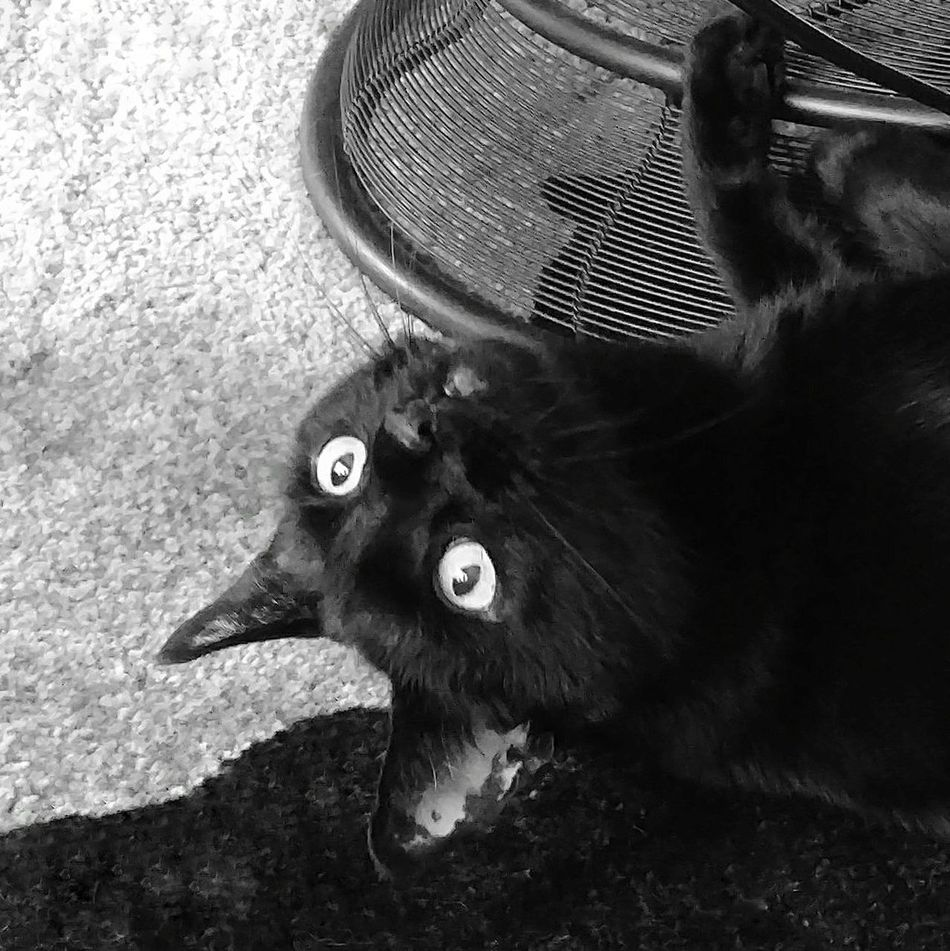 Excited wide eyed look! Black Cat One Animal Black Cats Are Beautiful Domestic Animals Indoors  Black & White Wide Eyes Excited Cat Eyeemcatlover Cell Phone Photography