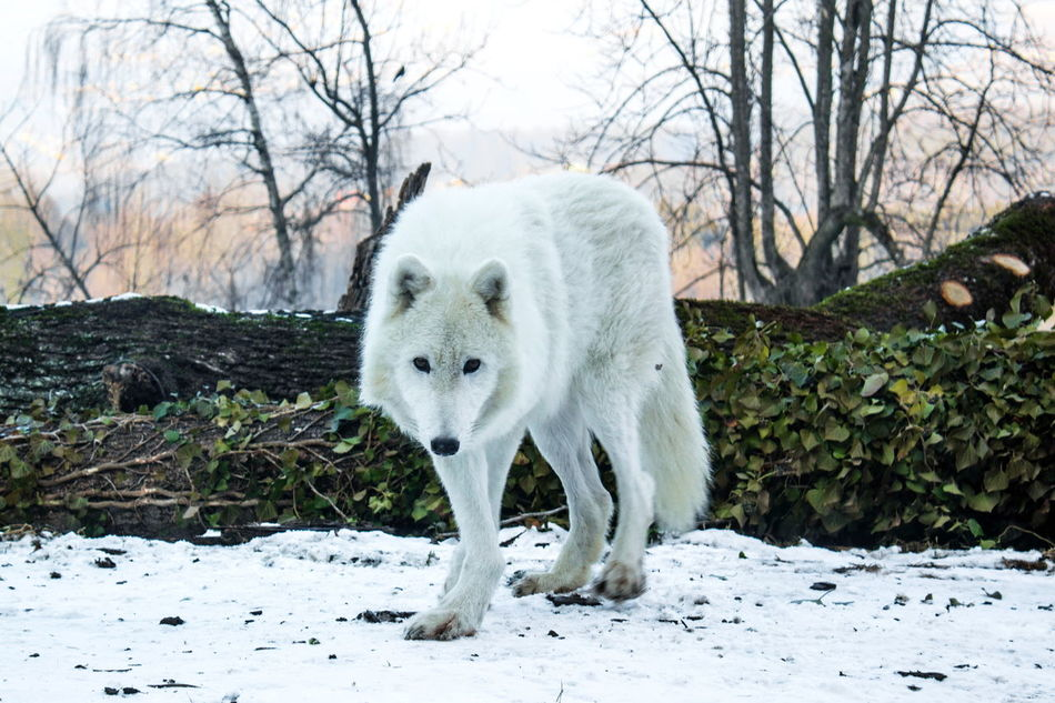 Animal Themes Animal Wildlife Animals In The Wild Beauty In Nature Cold Temperature Day Full Length Mammal Nature No People One Animal Outdoors Polar Wolf Snow Winter Wolf