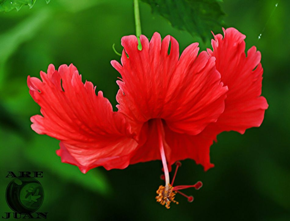 A malaysia proud flower...