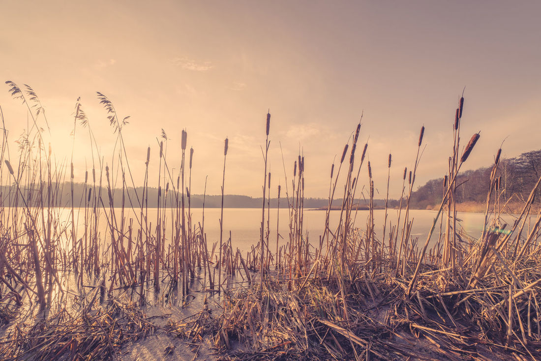 Reeds in a frozen lake scenery in the sunset at wintertime Arid Climate Field Forest Grass Lake Lake View Lakeshore Majestic Nature Outdoors Plant Plants Reeds Reflection Remote River Riverside Rural Scene Rushes Scenics Standing Water Sunset Tranquil Scene Tranquility Water