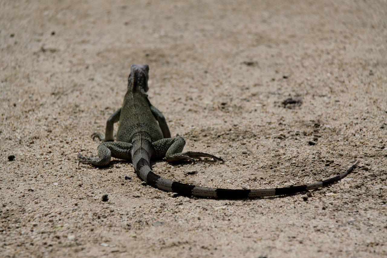 Close-Up Of Iguana On Field