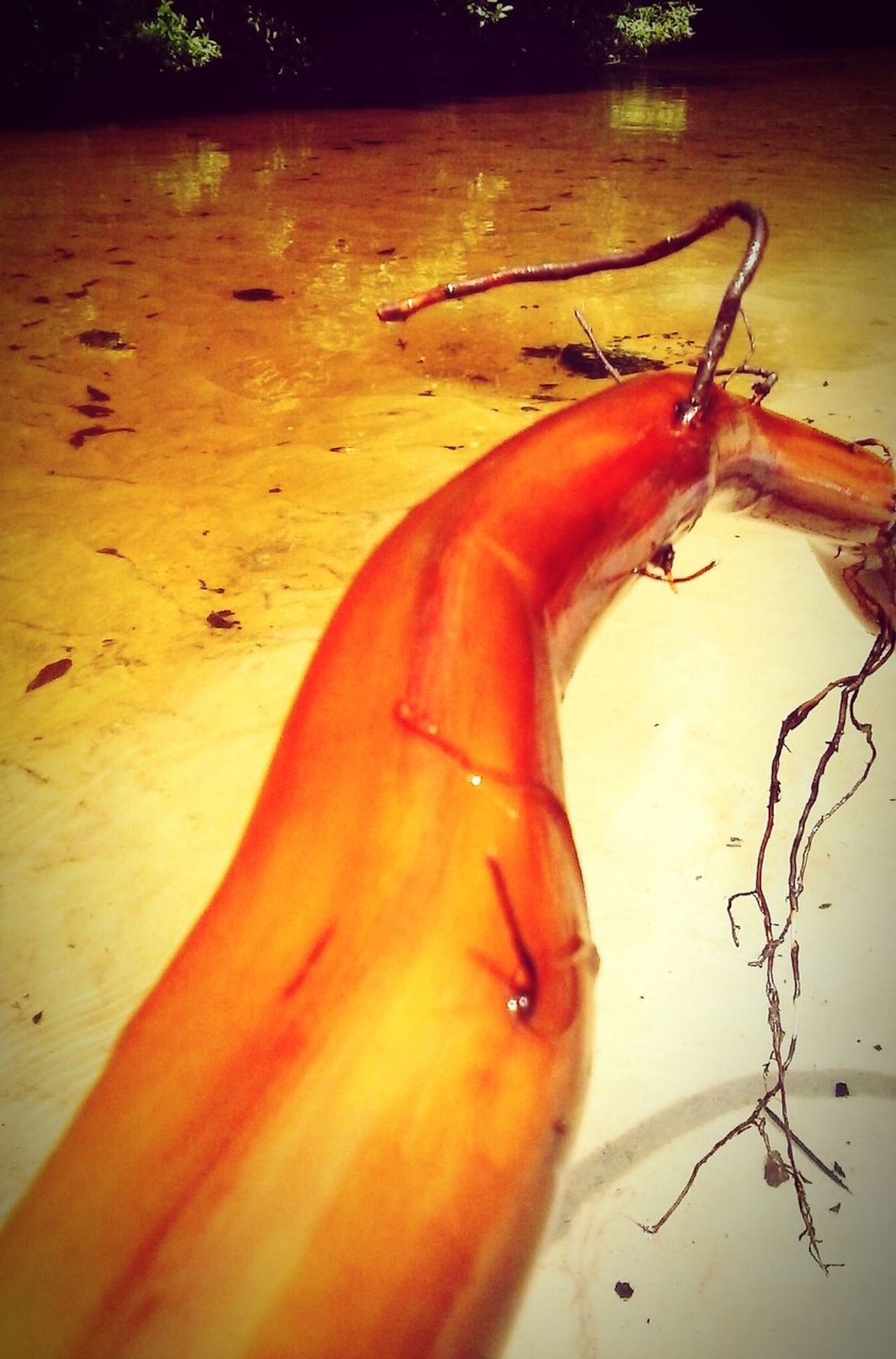 Neat stick. Ochlawaha Creek Lake Life Drift Wood  Stick