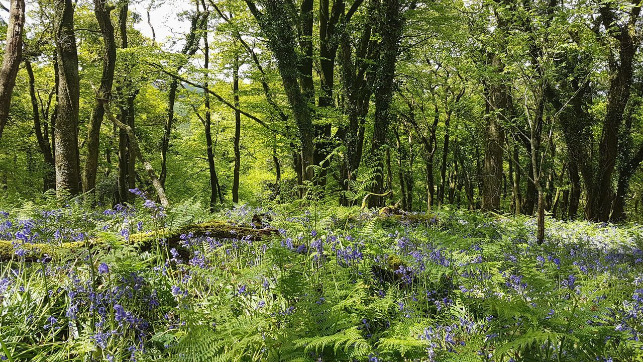 Green Color Growth Nature Backgrounds Grass No People Beauty In Nature Outdoors Lush Foliage Plant Tree Freshness Forest Close-up Fragility Bluebells Bluebell Woods Bluebell Wood Bluebell