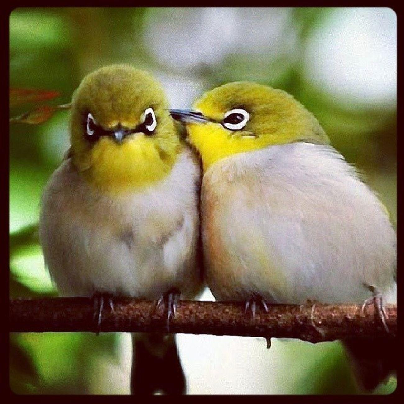 Bird Uccelli Occhialini Occhialinigiapponesi natura bacio Kiss amore love nature