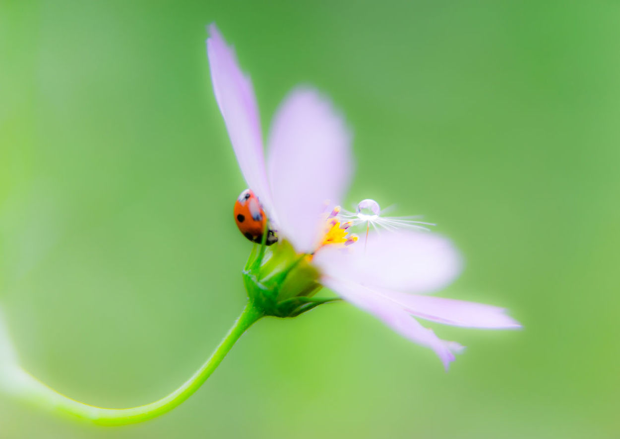 Blossom Bokeh Bokeh Photography Close-up Cosmos Flower Flowers Fluff Of A Dandelion Focus On Foreground Green Insect Kenko Extension Tube 10mm+16mm Ladybug Macro Macro_collection Nature Pink Plant Selective Focus Shizuku Photo Single Flower SONY A7ii Sony Sonnar T* FE 55mm F1.8 ZA Sony α♡Love Water Drops