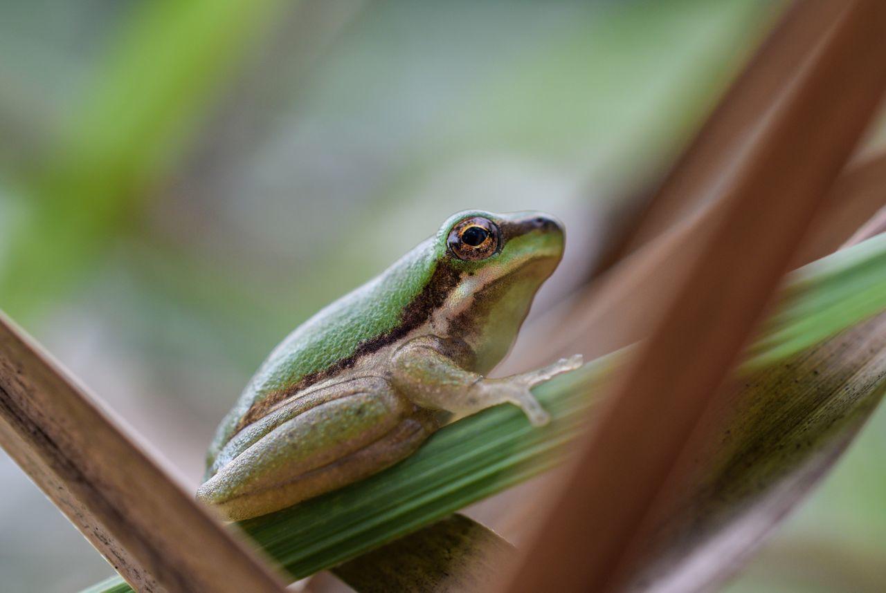 Macro Frog Frogs Amphibian Macro_collection Macroclique Macro Photography Macro Nature Macrophotography Macro Week