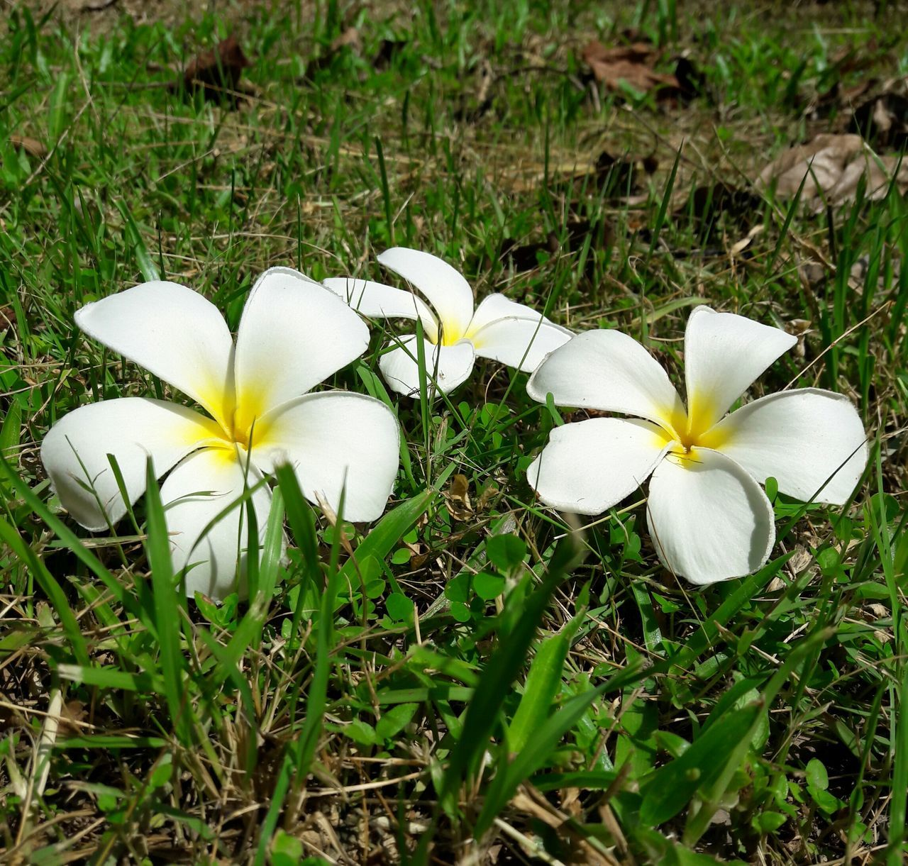 flower, white color, petal, beauty in nature, fragility, growth, flower head, nature, field, freshness, plant, blooming, high angle view, grass, frangipani, day, outdoors, no people, close-up, snowdrop, crocus