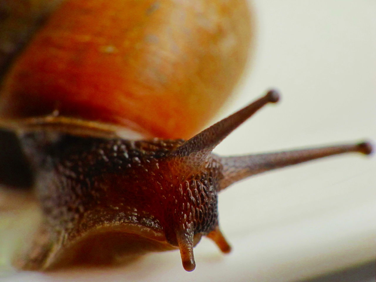 Animal Themes Close-up Day Escargot Fragility Freshness Gastropod Nature No People One Animal Outdoors Slimy
