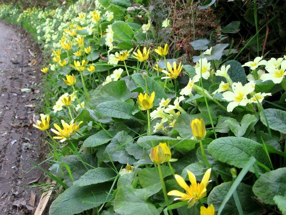 Roadside wildflowers Wildflowers Spring Flowers Primrose Lesser Celandine Nature's Diversities Roadside Glandore, Ireland West Cork Wildatlanticway Ireland The Great Outdoors - 2016 EyeEm Awards