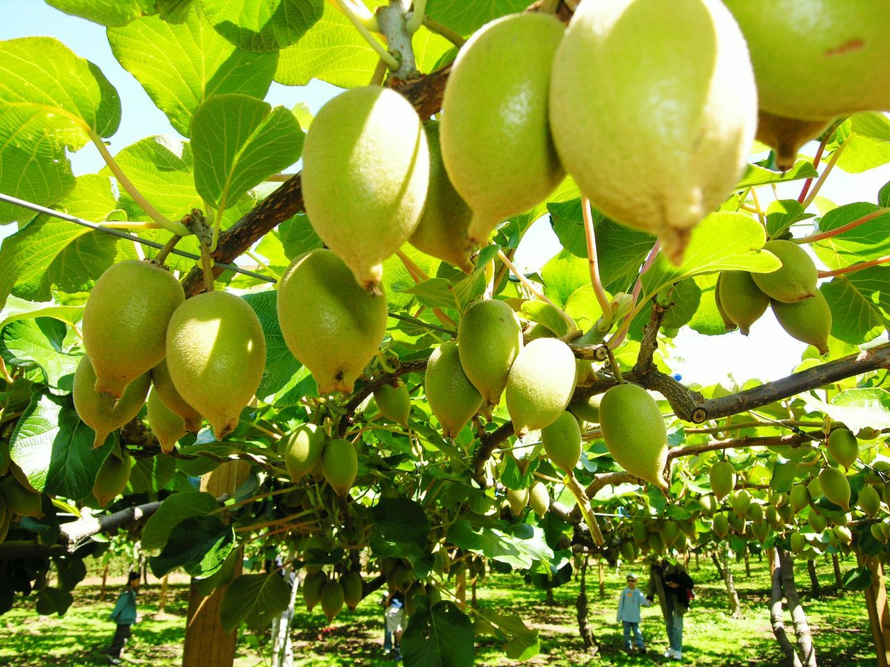 Fruit Green Color Tree Nature Growth Freshness Low Angle View Food And Drink No People Close-up Healthy Eating Food Outdoors Beauty In Nature Day Kiwifruit Agriculture Kiwifruit Vine Kiwifruit Orchard