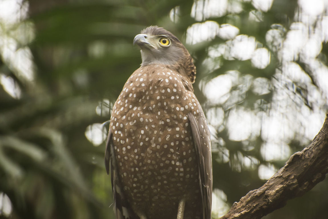 Animal Wildlife Animals In The Wild Bird Bird Of Prey Birds Branch Branches Day Eagle Eagle - Bird Eagles Eyeem Philippines Nature Nature No People One Animal Outdoors Serpent Eagle Spotted