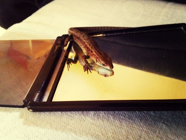 Lizard Miror Pic
