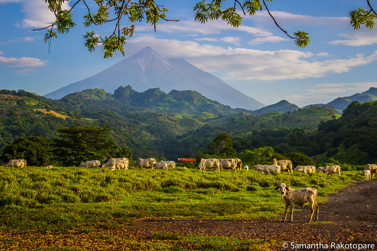 Countryside of Guatemala with the Pacaya volcano. Landscape Travel Guatemala Pacaya Volcano Central America Countryside Campagne Green Grass Beautiful Relaxing Tourism Wanderlust Amazing Place Summer Paysage Discovering Farm Life Peaceful Place Voyage Nature Animals Fieldscape Hills Clouds