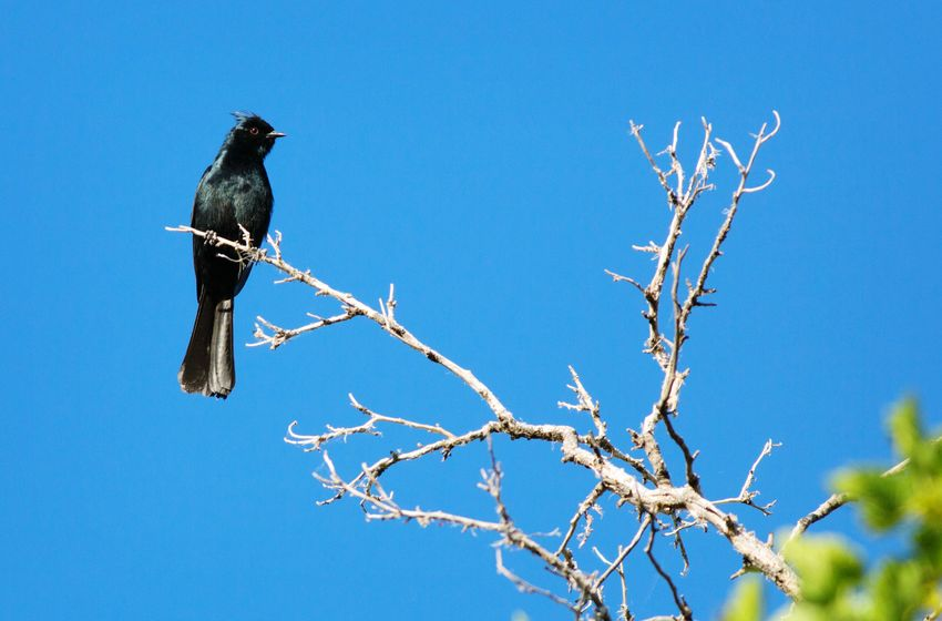 phainopepla Animals In The Wild Animal Wildlife Nature Branch Bird No People Perching Animal Themes Sky Southern Utah  Utah Grafton Ghost Town Phainopepla Tree Animals In The Wild One Animal Black Color