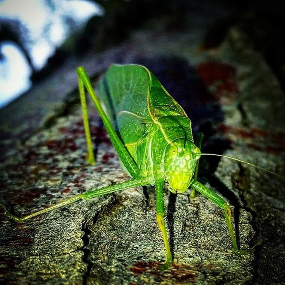 Found this little guy hanging out on chair so I found a better home for him. He hops just fyi.😲 Nature Bugs Bugslife Leafbug Onecoollittleguy Greenbug