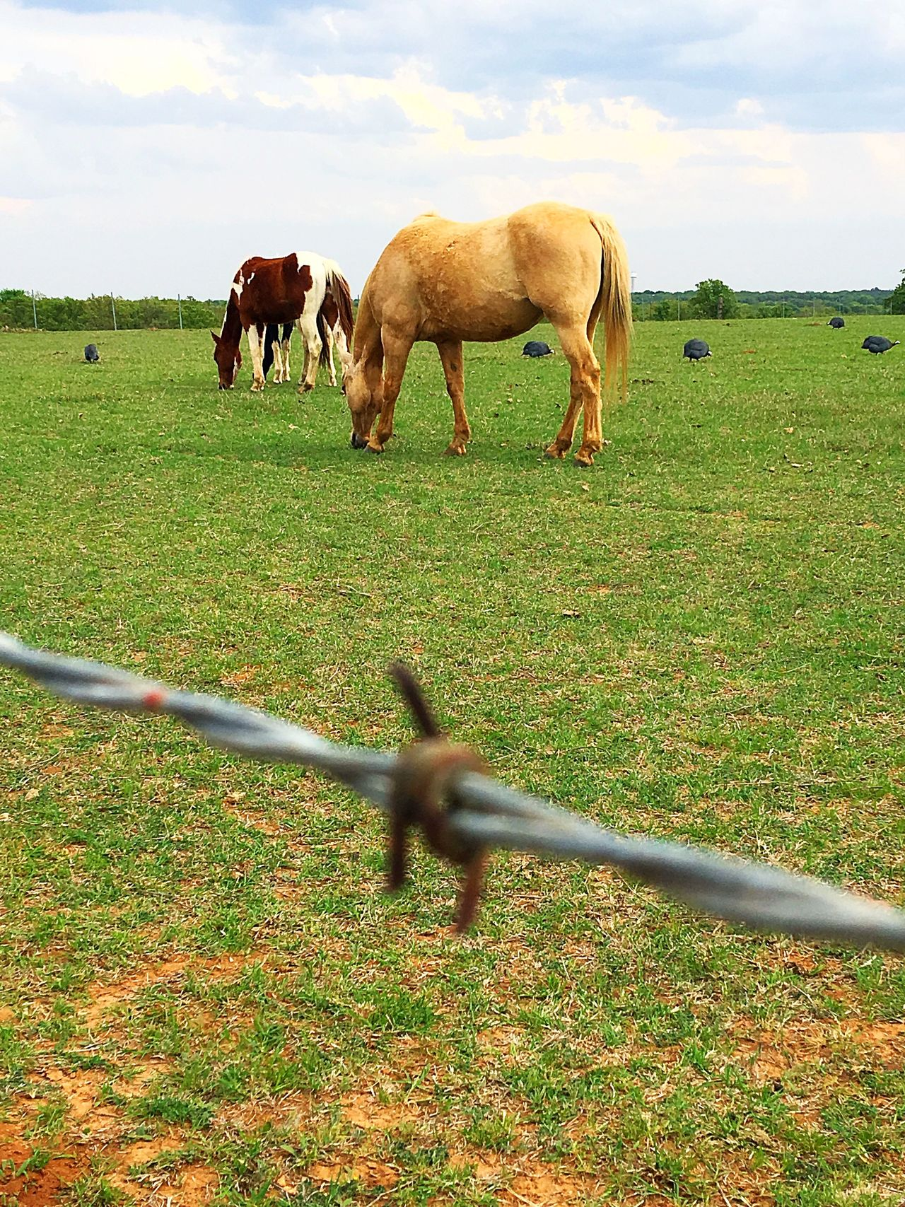 Horses Horse Photography  Barbed Wire Countryside Backroads Guinea Guinea Fowl IPhone IPhoneography Pasture Fence Grass Safety Domestic Animals Sky Field Protection Animal Themes Mammal Day Standing Livestock No People Rural Scene Outdoors Landscape Paddock Nature