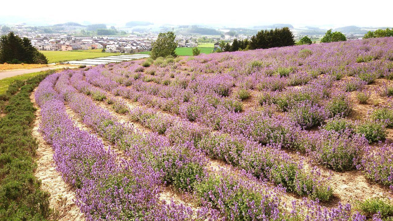 富良野 Beauty In Nature Enjoying Life Sunny☀ Hokkaido, Japan Patterns In Nature Purple Flower Purple ♥ Ultimate Japan The Great Outdoors - 2017 EyeEm Awards
