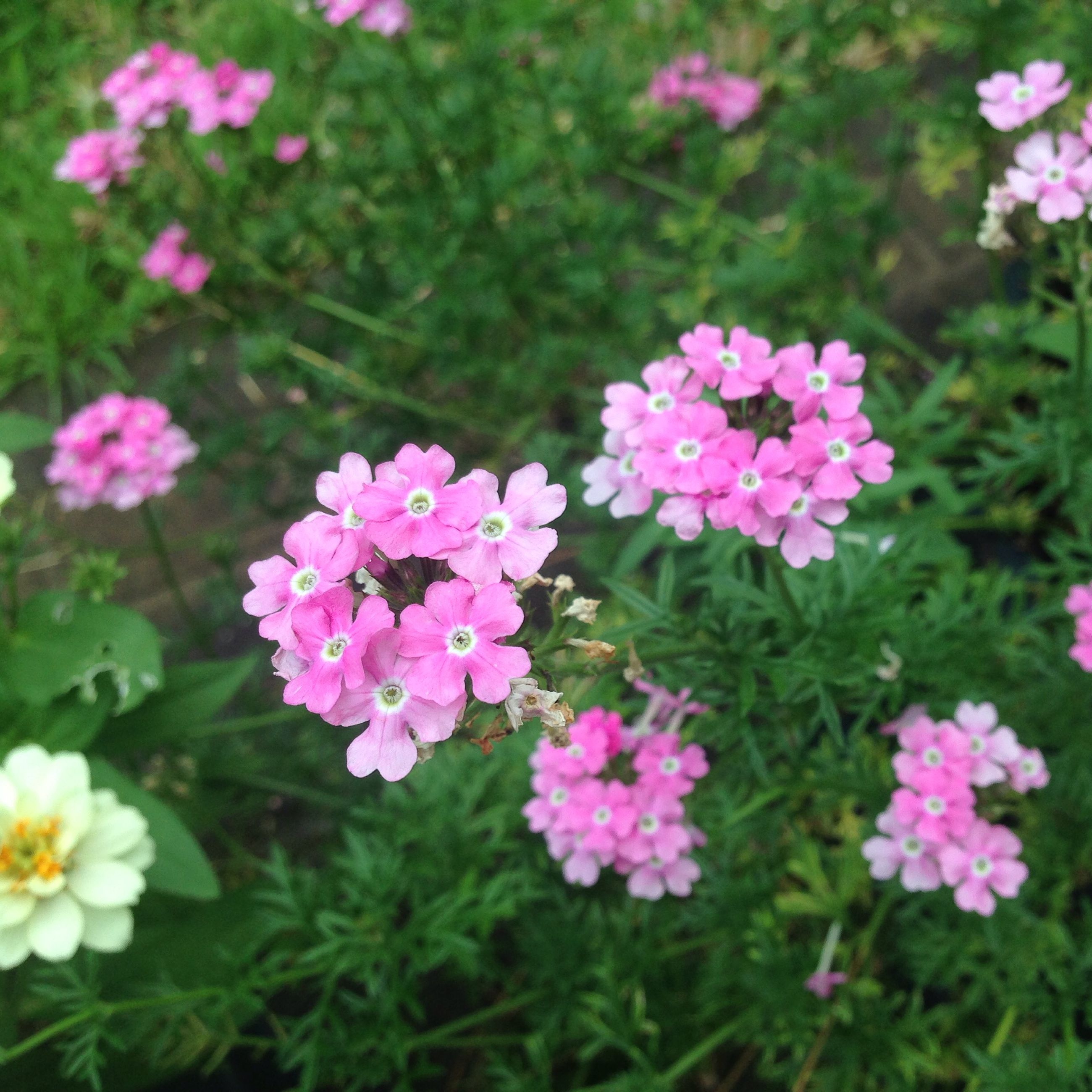 flower, freshness, fragility, growth, petal, pink color, beauty in nature, blooming, flower head, nature, plant, focus on foreground, in bloom, close-up, park - man made space, green color, field, high angle view, outdoors, day