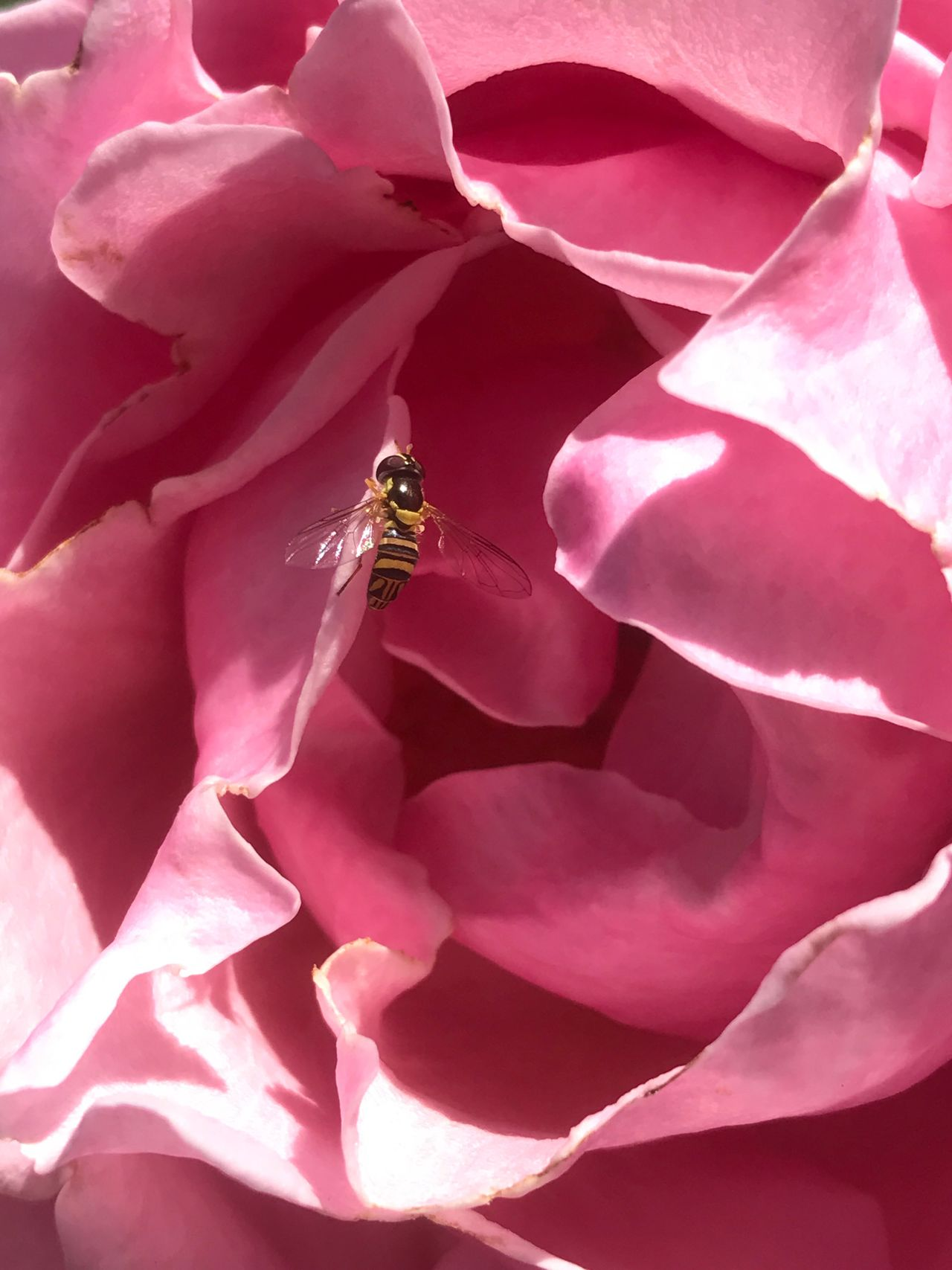 One Animal Flower Insect Petal Animal Themes Animals In The Wild No People Nature Close-up Day High Angle View Fragility Beauty In Nature Animal Wildlife Outdoors Full Frame Growth Flower Head Full Length Freshness Rosé Pink Rose Bee Wasp Wasp On A Rose