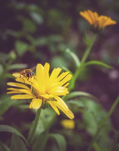 It's a bee? Flower Petal Fragility Nature Beauty In Nature Flower Head Plant Growth Freshness Yellow Blooming No People Close-up Outdoors Day Animal Themes