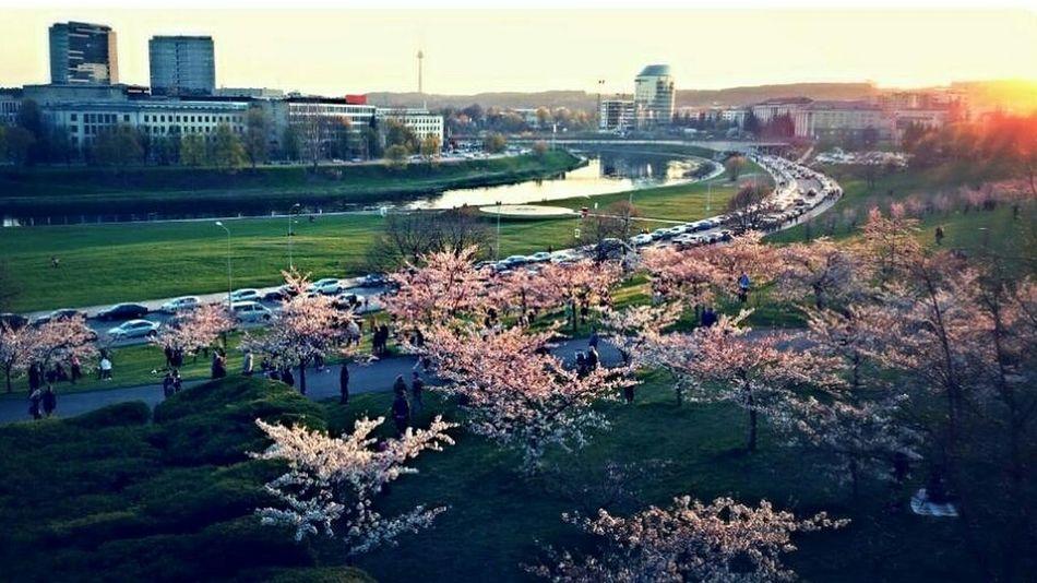 EyeEmNewHere Sakura Blossom OneYearAgo Vilnius City Neris River Cityscape