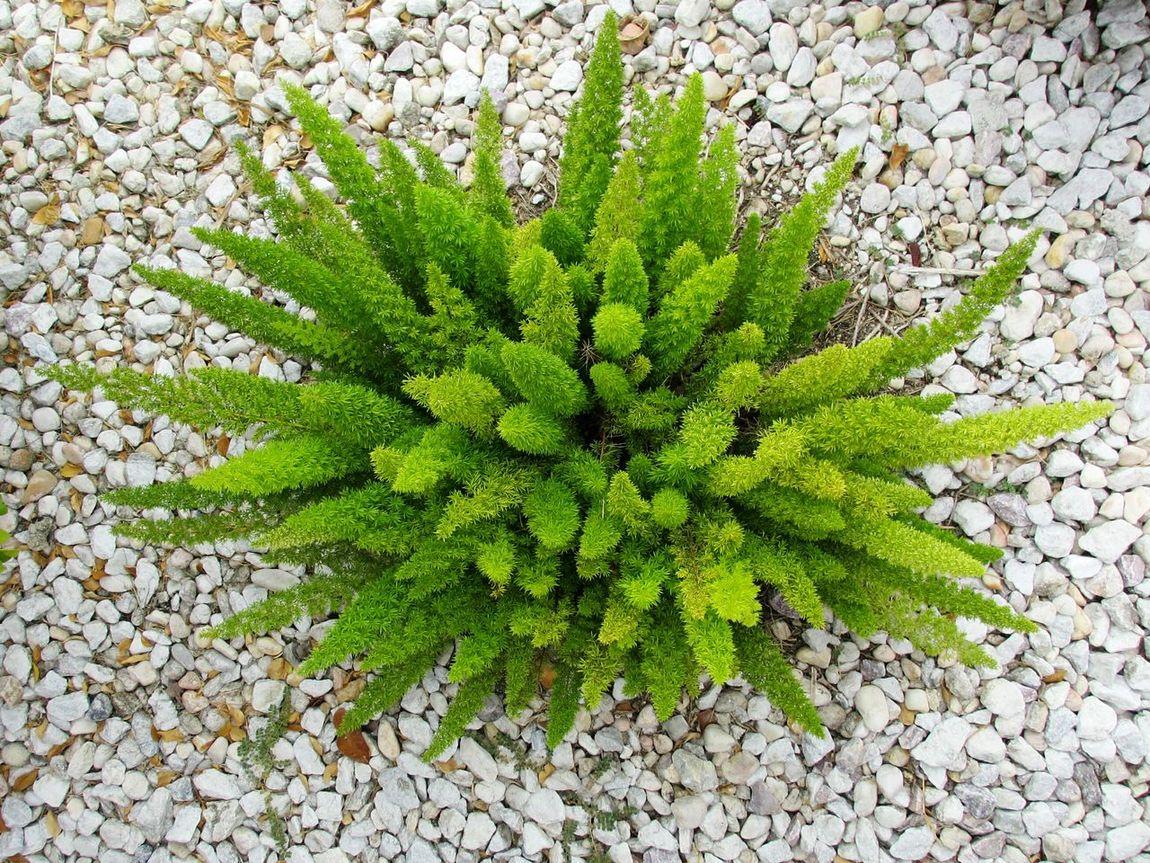 foxtail fern 'meyersii' asparagus densiflorus Foxtail Fern Ferns Natural Symmetry Flowers,Plants & Garden In The Garden