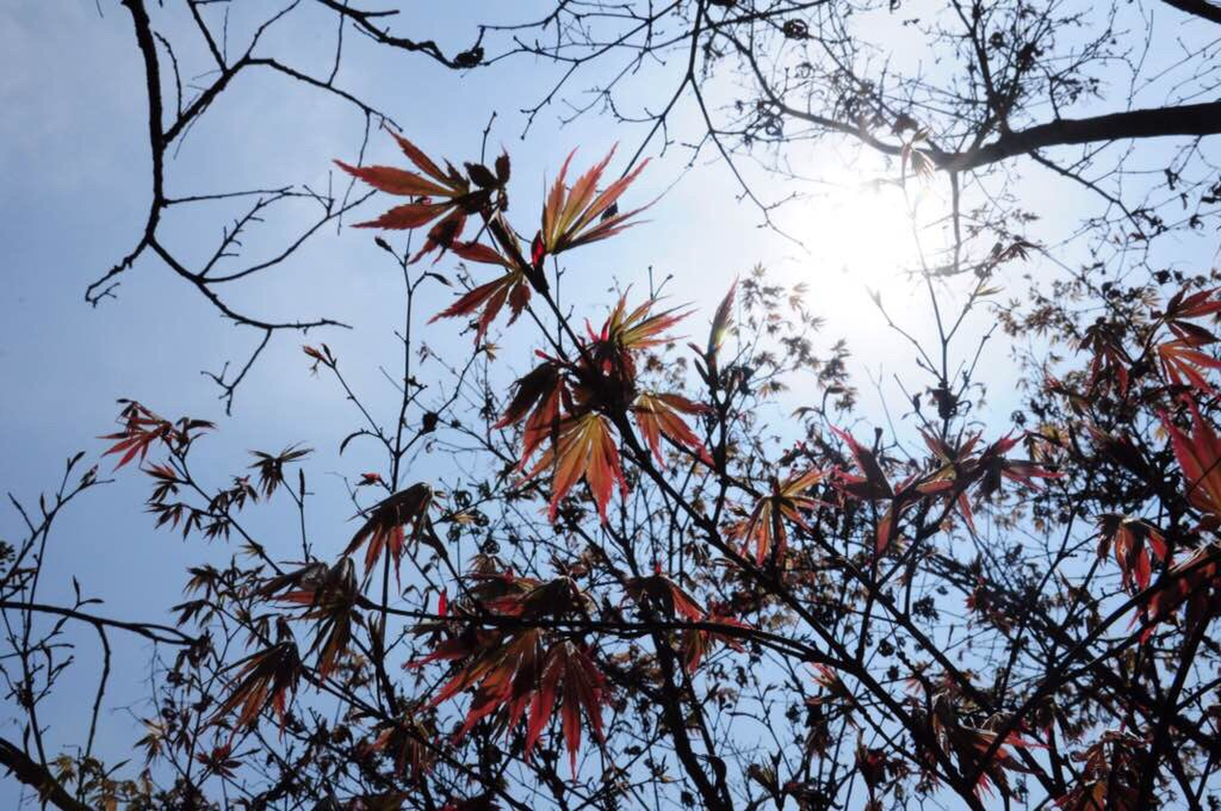 low angle view, tree, branch, autumn, leaf, growth, change, nature, sky, beauty in nature, orange color, season, clear sky, tranquility, sunlight, outdoors, day, no people, close-up, scenics