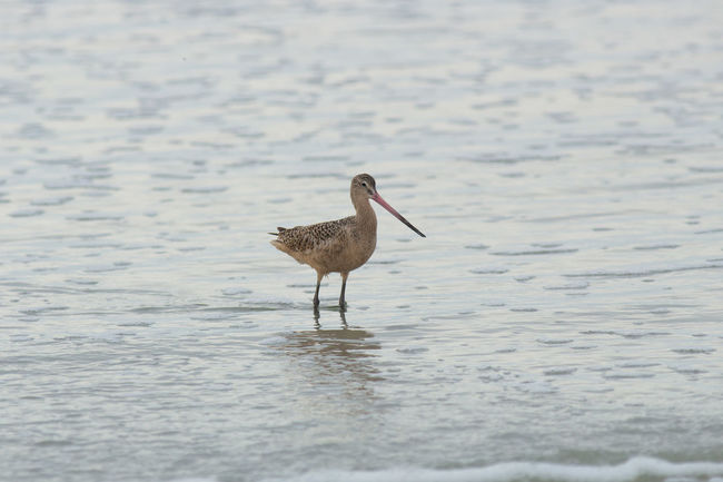 Marbled godwit! Foraging for crustaceans. :) Marbledgodwit Bird Love Beautiful Photooftheday Wildlife Cali Nature Sand Beach Ocean Seafoam Waves Canon Raw