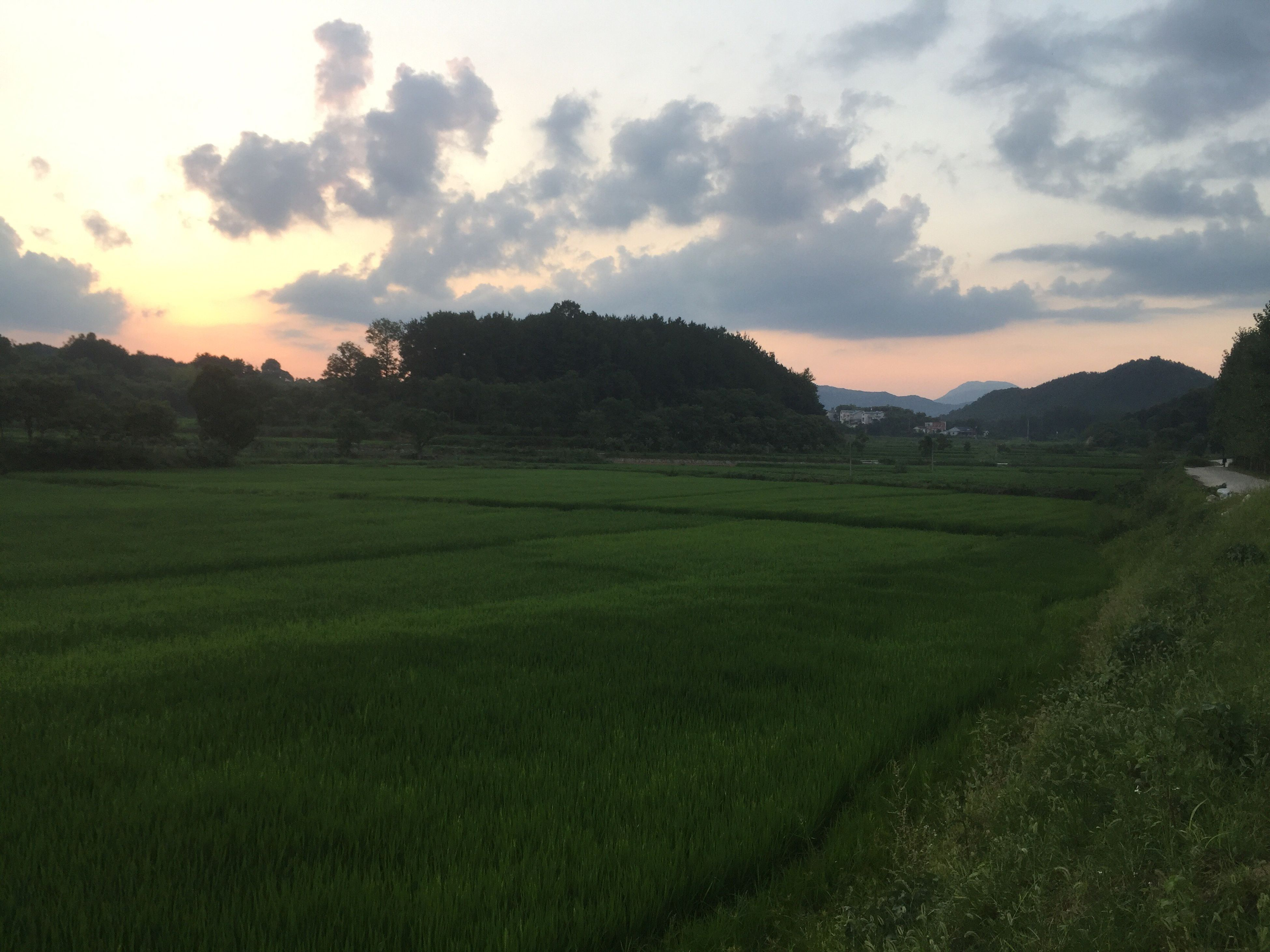 grass, field, nature, sunset, landscape, tranquil scene, tranquility, beauty in nature, growth, sky, scenics, no people, agriculture, cloud - sky, green color, outdoors, rural scene, tree, rice paddy, day
